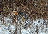 Sure enough, a Cooper's Hawk (ctberney) Tags: hawk coopershawk bird field far distant snow nature