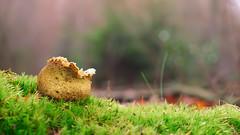 Scleroderma Fungus (Visual Stripes) Tags: fungus fungi mushroom grass forest moss bokeh dof depthoffield 35mmmacro mzuiko olympus macro panasoniclumixg1 texture composition colours autumn green nature