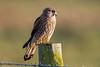 Kestrel (Simon Stobart) Tags: kestrel falco tinnunculus northeast england fence post setting sun