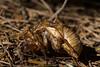 Cicada shell ([S u m m i t] s c a p e) Tags: bluemountains cicada leura shell summer bluemountainsnationalpark newsouthwales australia
