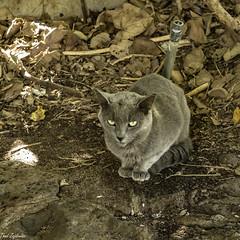 Feral cat (Thad Zajdowicz) Tags: zajdowicz hawaii usa travel availablelight honolulu leica lightroom cat feral haunamabay oahu animal mammal wild fauna outdoor color gray brown colour