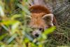 hide and seek - verstecken und suchen (ralfkai41) Tags: ailurusfulgens bear panda nature roterpanda redpanda verstecken zoo tier bär natur animal