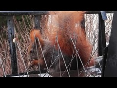 """Eichhhörnchen heute ohne Scheu am offenen Fenster : 16.12.2017 (flixx-ak) Tags: flixxakoffenbachammainhessen deutschland germany """"anvormeinemfenster"""" eichhörnchen squirrel 2017"""