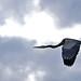 Great Christmas Heron 03