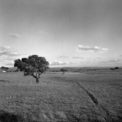 Cork oaks  - Sardinia - August 2011 (cava961) Tags: sardinia monochrome monocromo analogue analogico bianconero bw 6x6