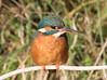 Female Kingfisher (Mukumbura) Tags: female kingfisher bird fish fishing catch water splash flying wildlife england alcedoatthis bishopspalace moat wells somerset nature rock perch