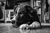 Rian (19 weeks) (unbunt.me) Tags: lrcc aussie fujifilm fujix100f australianshepherd hund blackwhite bw dog hoffnungs blackandwhite