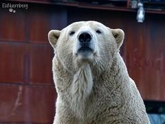Sprinter - Milana - Eisbären - Erlebnis-Zoo Hannover (ElaNuernberg) Tags: eisbärmilana eisbärsprinter erlebniszoohannover eisbär polarbear ijsbeer ourspolaire orsopolare niedźwiedźpolarny ursusmaritimus jääkaru zoo zooanimals zootiere