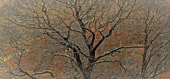 Skeleton tree. (A tramp in the hills) Tags: skeleton