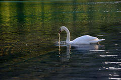 Swan (natural illusions) Tags: swan spring april backlit bird cygnus pentax k200d jpg gimp imagemagick river sava green lake slovenia europe lb1415 allrightsreserved outdoor wildlife nature goldenhour water reflection jezero labod pomlad interesting wow happynewyear
