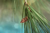 Pine Cone II (Zara Calista) Tags: tree cone male bokeh nikon pine december winter green blue