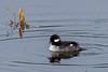 Bufflehead (JohnReynolds2012) Tags: vancouver 2017 wildlife winter bird birds canada inaturalist animals bc coquitlam britishcolumbia ca