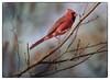 Sauve qui peut.. (chana4 ( Nancy Charlton)) Tags: rouge jardinbotaniqie exterieur oiseau nature cardinal