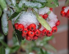 Chilled in Red. (Omygodtom) Tags: macrodreams macro bokeh green red outside 7dwf coth5 tamron90mm tamron texture dof d7100 diamond natural nikkor nature nikon street winter