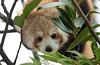 red panda Blijdorp BB2A1028 (j.a.kok) Tags: panda redpanda rodepanda kleinepanda china asia azie animal blijdorp mammal zoogdier dier