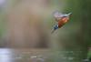 Kingfisher dive-1382 (Theo Locher) Tags: ijsvogel kingfisher eisvogel martinpecheur alcedoatthis vogels birds vogel oiseaux netherlands nederland copyrighttheolocher