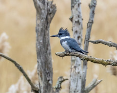 Belted Kingfisher....6O3A5197CR2A (dklaughman) Tags: kingfisher belted primehooknwr delaware bird