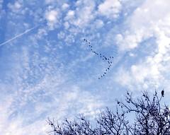Canada Geese (baypeep) Tags: geese