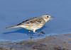 American Pipit (Ed Sivon) Tags: america canon nature lasvegas wildlife wild western water southwest desert clarkcounty clark vegas bird henderson nevada nevadadesert park