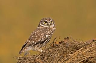 Little Owl: Athene noctua