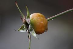 Star 1.18 (JaneCarradus) Tags: rose rosehip seeds winter