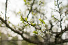 Plum Blossoms (Enaruna) Tags: ast baum blooming blossoming blossoms blühend blüten branch branches bäume flowering fruittreeblossoms frühling obstbaumblüten pflanze pflanzen pflaume pflaumenblüte pflaumenblüten plant plants plum plumblossom plumblossoms spring tree trees zweige zwetschgenblüte zwetschgenblüten äste blüte
