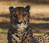 Cheetah portrait (JLM62380) Tags: cheetah portrait animal félin guépard zoo