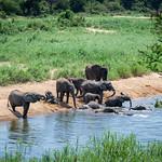 Afrikanische Elefanten / African Bush Elephants thumbnail