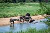 Afrikanische Elefanten / African Bush Elephants (brainstorm1984) Tags: elefanten safari sabieriver krügernationalpark krugerpark africanbushelephant loxodontaafricana afrikanischeelefanten krugernationalpark wildlife elephant southafrica elephantidae river skukuza afrikanischerelefant elephants africanbushelephants südafrika africansavannaelephant sabie elefant africansavannaelephants mpumalanga za