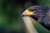 Eagle glance (sam.villaver) Tags: world'sbestnikonshot d3100 nature eagle glance eye wild animal zoom zoomlens wildlife bird naturaleza aguila ave mirada ojo salvaje teleobjetivo