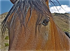 Wild Mustang Stallion (sswj) Tags: stallion mustang wildmustang horse wildhorse nevada composition scottjohnson availablelight existinglight naturallight leica dl4 beautifulanimal delux3 mountaindesert
