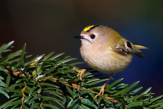 Goldcrest on Yew
