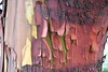 Arbutus bark (ngawangchodron) Tags: victoriagridproject m31 oakbay victoria bc canada vancouverisland arbutusmenziesii arbutus madrone tree bark