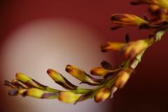 I hope so that many flowers bloom/いいことたくさん (kurupa_m) Tags: flower bud plant macro fujifilm xt10 クロコスミア 蕾 2018 謹賀新年