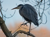 Grey Heron (Tim Melling) Tags: ardea cinerea grey heron west yorkshire timmelling