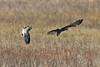 Target Acquired (Roy Lowry) Tags: parkgate flightshot marshharrier lapwing vanellusvanellus circusaeruginosus