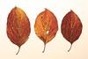 Herbstblätter (izoll) Tags: laub herbst buche izoll sony alpha77ii herbstfärbung herbstblatt blatt baumblat nahaufnahmen