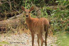 IMG_0625_White-tailed Deer (pamfromcalgary) Tags: whitetaileddeer nature animal southernalberta pamhawkes