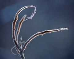 Frosty Twig (Howard Sandler (film photos)) Tags: frost close winter film nikon fe2 seriese portra