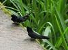 White-banded Swallow, Atticora fasciata