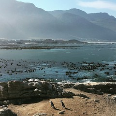 The penguins of Betty's Bay (rjmiller1807) Tags: penguins bettysbay overstrand capetown southafrica westerncape africanpenguin jackasspenguin blackfootedpenguin 2017 iphone iphonography iphonese june stonypoint capenature mountains ocean birds aves avian pikkewyn