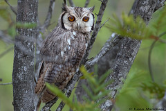 Southern White-faced Scops-Owl (leendert3) Tags: leonmolenaar nature wildlife southafrica krugernationalpark birds s ngc npc