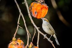 xxD40_3856 (Eyas Awad) Tags: eyasawad nikond4 sigma500f45 nikond800 nikonafs300mmf4 bird birds birdwatching wildlife nature capinera sylviaatricapilla