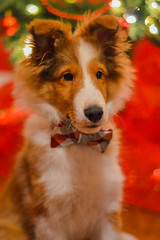Merry Christmas (ildikoannable) Tags: merrychristmas red holiday christmas sheltie puppy cute warm celebration