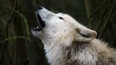 NITIKA (babsbaron) Tags: nature tiere animals raubtiere wildtiere predators wolf wölfe wolves polarwolf whitewolf lüneburg lüneburgerheide wildpark