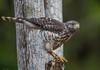 Roadside Hawk (Rupornis magnirostris) (NigelJE) Tags: roadsidehawk hawk rupornismagnirostris rupornis accipitridae nigelje ixtapa playalinda zihuatanejo guerrero mexico