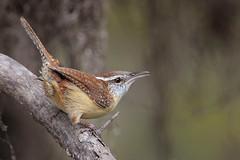 Carolina Wren (Greg Lavaty Photography) Tags: carolinawren thryothorusludovicianus texas december brazosbend statepark ftbendcounty wren birdphotography outdoors bird nature wildlife