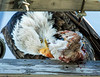 The Wild One (edmason88) Tags: baldeagle eating graphic pigeon tamron150600 edmontonalberta canada