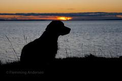 Sunset over Kalø Vig (Flemming Andersen) Tags: zigzag spaniel cocker kaløvig pet nature water dog hund outdoor seaside animal sunset siluette rønde centraldenmarkregion denmark dk