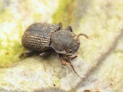 Bolitophagus reticulatus (Radim Gabriš) Tags: coleoptera tenebrionoidea tenebrionidae bolitophagus bolitophagusreticulatus darklingbeetle beetle insect macro